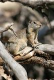 Uinta地松鼠,地面松鼠类armatus 库存照片