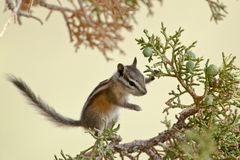 Uinta Chipmunk. Climbing In A Utah Juniper Tree Stock Photo