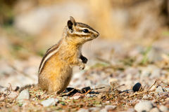 Uinta Chipmunk. Sitting On Its Haunches At Full Alert Royalty Free Stock Image