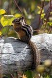 Uinta Chipmunk (Neotamias umbrinus fremonti) Zdjęcie Royalty Free