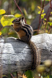 Uinta Chipmunk (Neotamias umbrinus fremonti). In Wyoming Royalty Free Stock Photo