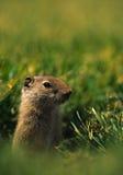 uinta dello scoiattolo a terra Fotografia Stock Libera da Diritti