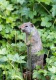 uinta dello scoiattolo a terra Fotografie Stock Libere da Diritti