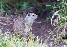 uinta dello scoiattolo a terra Immagini Stock Libere da Diritti