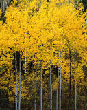 Uinta Forest Aspens 2. Aspen trees photographed during the autumn season, along Highway 92 the Alpine Loop, in the Uinta National Forest in Utah Royalty Free Stock Image