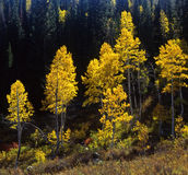 Uinta Forest Aspens 4 (H). Aspen trees photographed during the autumn season, along Highway 92 the Alpine Loop, in the Uinta National Forest in Utah Royalty Free Stock Image