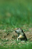 Uinta Ground Squirrel. A uinta ground squirrel chirping as it pokes its head out of its burrow Royalty Free Stock Image