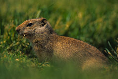 Uinta Ground Squirrel. A uinta ground squirrel with a mouthful of grass Stock Photos