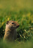 Uinta Ground Squirrel. A uinta ground squirrel peeking out of its burrow in the grass surveying its territory Royalty Free Stock Photography