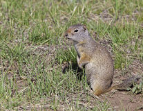 Uinta Ground Squirrel. This small rodent lives high in the mountains and is considered a pest by the ranchers Stock Images
