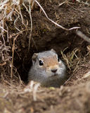 Uinta Ground Squirrel. In his den Royalty Free Stock Photo