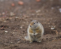 Uinta Ground Squirrel Stock Photo
