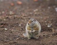 Uinta Ground Squirrel. Standing up Stock Photo