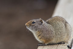 Uinta Ground Squirrel. Watching for danger Stock Photography