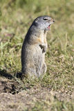 Uinta ground squirrel calling in the grass to others Stock Photography