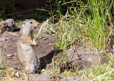 Uinta Ground Squirrel. A Uinta Ground Squirrel chitters to alert others to danger Stock Images