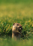 Uinta Ground Squirrel Eating. A uinta ground squirrel with a mouthful of grass Royalty Free Stock Photos