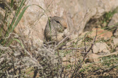 Uinta Ground Squirrel eating grass Royalty Free Stock Photos