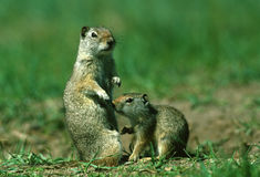 Uinta Ground Squirrel Female and Baby stock image