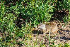 Uinta ground squirrel. In Grand Teton National Park, Wyoming, USA Stock Photos