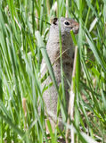 Uinta Ground Squirrel in Grass. Uinta Ground Squirrel standing up in tall green grass Royalty Free Stock Photo