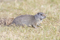 UINTA GROUND SQUIRREL IN GRASS STOCK IMAGE. Uinta ground squirrel on grass by burrow in early summer stock photo