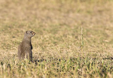 UINTA GROUND SQUIRREL IN GRASS STOCK IMAGE. Uinta ground squirrel on grass by burrow in early summer royalty free stock photo