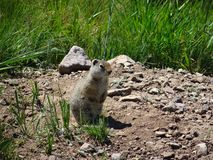 Uinta Ground Squirrel keeping watch on hind legs. Royalty Free Stock Photos