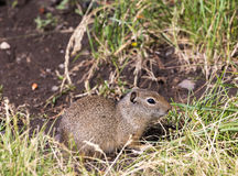 Uinta Ground Squirrel. An Uinta Ground Squirrel looking around Royalty Free Stock Photo