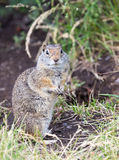 Uinta Ground Squirrel. An Uinta Ground Squirrel looking around Stock Image