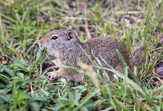 Uinta Ground Squirrel. An Uinta Ground Squirrel looking around Royalty Free Stock Photos