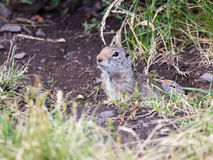 Uinta Ground Squirrel Royalty Free Stock Images