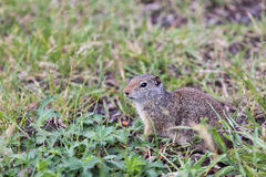 Uinta Ground Squirrel. An Uinta Ground Squirrel looking around Royalty Free Stock Image