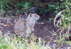 Uinta Ground Squirrel. An Uinta Ground Squirrel looking around Royalty Free Stock Images
