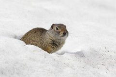 Uinta ground squirrel out of burrow in early spring. Uinta ground squirrel out of deep snow burrow in early spring royalty free stock photos
