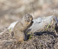 Uinta ground squirrel out of burrow in early spring. With snow on ground royalty free stock image
