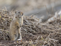 Uinta ground squirrel out of burrow in early spring. With snow on ground Royalty Free Stock Photography