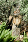 Uinta Ground Squirrel, Spermophilus armatus. Uinta Ground Squirrel keeps a watchful eye on the photographer Royalty Free Stock Photography