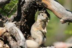 Uinta Ground Squirrel, Spermophilus armatus. Uinta Ground Squirrel keeps a watchful eye on the photographer Stock Images