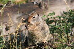 Uinta Ground squirrel (Spermophilus armatus). A Uinta Ground squirrel (Spermophilus armatus) in Yellowstone National Park USA Stock Photography