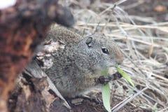Uinta Ground squirrel (Spermophilus armatus). A Uinta Ground squirrel (Spermophilus armatus) in Yellowstone National Park USA Royalty Free Stock Image