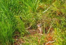 Uinta ground squirrel. In Grand Teton National Park, Wyoming, USA Royalty Free Stock Photo