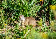 Uinta ground squirrel Royalty Free Stock Photography