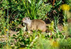 Uinta ground squirrel. In Grand Teton National Park, Wyoming, USA Stock Photography