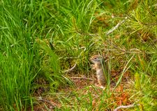 Uinta ground squirrel. In Grand Teton National Park, Wyoming, USA Stock Image