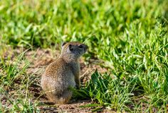 Uinta ground squirrel Royalty Free Stock Photo