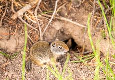 Uinta ground squirrel. In Grand Teton National Park, Wyoming, USA Royalty Free Stock Photography