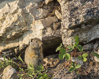 Uinta Ground Squirrel Urocitellus armatus. Stays near the burrow in the rocks with the wild strawberry plants Royalty Free Stock Image
