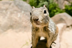Uinta Groung Squirrel. Close portrait of a cute Uinta Ground Squirrel Stock Photography