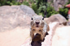 Uinta Groung Squirrel. Close portrait of a cute Uinta Ground Squirrel Stock Image